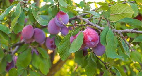 about-plum